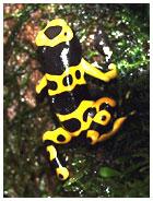 Dendrobates leucomolas is one of the most kept Dendrobates species