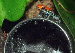 Dendrobates reticulatus