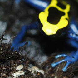 Dendrobates tinctorius spots a dwarf woodlouse!